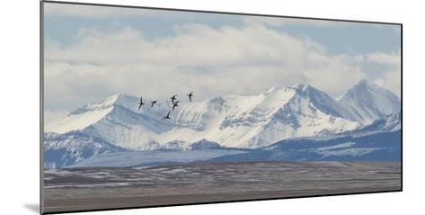 Birds Fly Near the Front Range of the Rocky Mountains in Montana-Michael Melford-Mounted Photographic Print