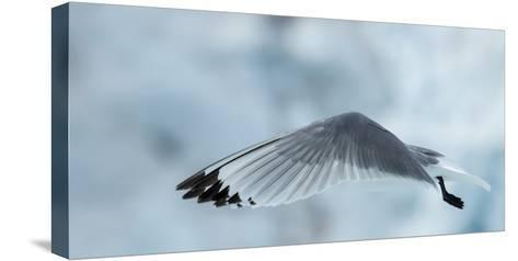 An Arctic Tern in Flight Above Monacobreen Glacier-Michael Melford-Stretched Canvas Print