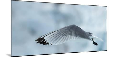 An Arctic Tern in Flight Above Monacobreen Glacier-Michael Melford-Mounted Photographic Print