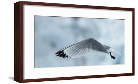 An Arctic Tern in Flight Above Monacobreen Glacier-Michael Melford-Framed Art Print