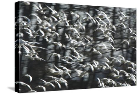 A Flock of Snow Geese, Chen Caerulescens, in Flight-Paul Colangelo-Stretched Canvas Print