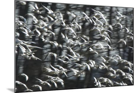 A Flock of Snow Geese, Chen Caerulescens, in Flight-Paul Colangelo-Mounted Photographic Print