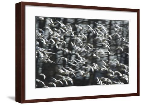 A Flock of Snow Geese, Chen Caerulescens, in Flight-Paul Colangelo-Framed Art Print
