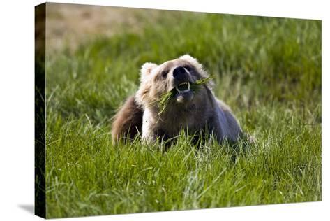 Brown Bear Eating Sedge Grass in the Kaguyak Area of Katmai National Park, Alaska-Design Pics Inc-Stretched Canvas Print