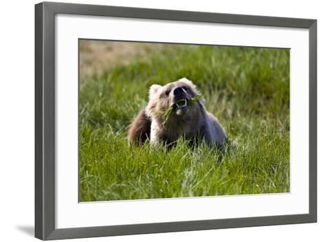 Brown Bear Eating Sedge Grass in the Kaguyak Area of Katmai National Park, Alaska-Design Pics Inc-Framed Art Print