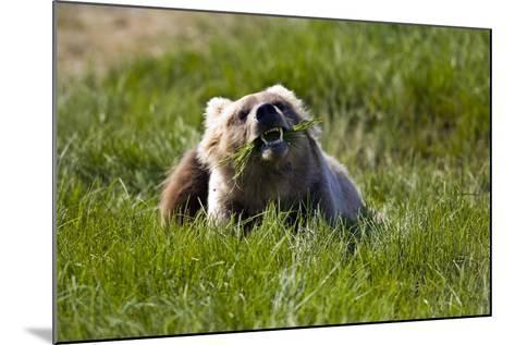 Brown Bear Eating Sedge Grass in the Kaguyak Area of Katmai National Park, Alaska-Design Pics Inc-Mounted Photographic Print