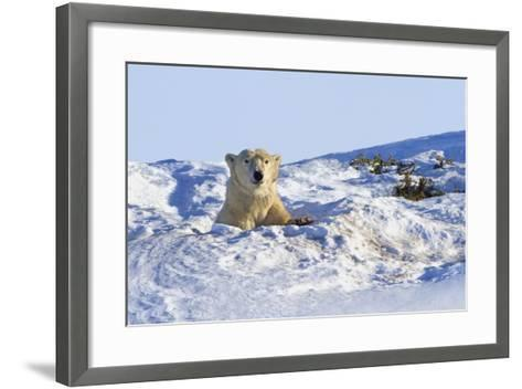 Polar Bear (Ursus Maritimus) in Wapusk National Park; Churchill, Manitoba, Canada-Design Pics Inc-Framed Art Print