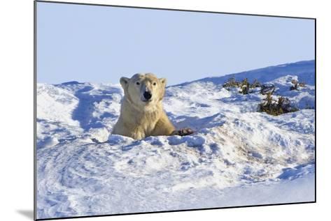 Polar Bear (Ursus Maritimus) in Wapusk National Park; Churchill, Manitoba, Canada-Design Pics Inc-Mounted Photographic Print