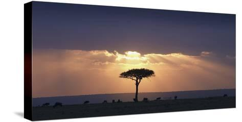 An Acacia Tree and Wildebeest under a Sunset; Kenya, Africa-Design Pics Inc-Stretched Canvas Print