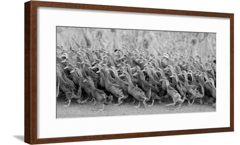 Flock of Domestic Goose-Design Pics Inc-Framed Art Print