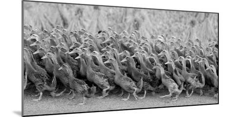 Flock of Domestic Goose-Design Pics Inc-Mounted Photographic Print