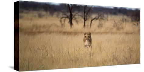 A Lioness, Panthera Leo, Walks Through Long Grasses-Alex Saberi-Stretched Canvas Print