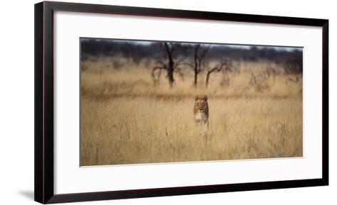 A Lioness, Panthera Leo, Walks Through Long Grasses-Alex Saberi-Framed Art Print