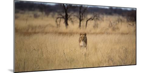A Lioness, Panthera Leo, Walks Through Long Grasses-Alex Saberi-Mounted Photographic Print