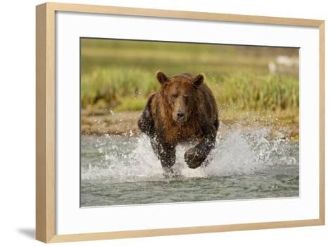 Coastal Grizzly Boar Fishing at Geographic Harbor, Katmai National Park, Alaska-Design Pics Inc-Framed Art Print