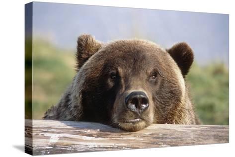 Brown Bear Resting on Log Alaska Wildlife Converation Center Summer Sc Alaska-Design Pics Inc-Stretched Canvas Print