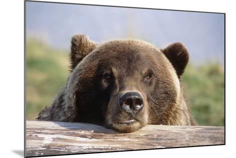 Brown Bear Resting on Log Alaska Wildlife Converation Center Summer Sc Alaska-Design Pics Inc-Mounted Photographic Print