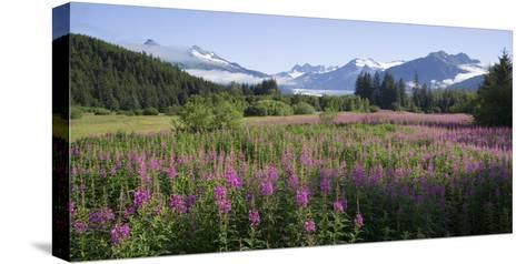 Field of Fireweed with Coast Mountains and Mendenall Glacier-Design Pics Inc-Stretched Canvas Print