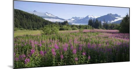 Field of Fireweed with Coast Mountains and Mendenall Glacier-Design Pics Inc-Mounted Photographic Print