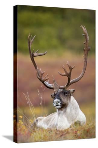 Bull Caribou Bedded on Autumn Tundra in Denali National Park, Interior Alaska-Design Pics Inc-Stretched Canvas Print
