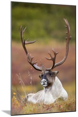 Bull Caribou Bedded on Autumn Tundra in Denali National Park, Interior Alaska-Design Pics Inc-Mounted Photographic Print