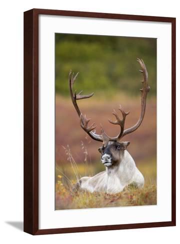 Bull Caribou Bedded on Autumn Tundra in Denali National Park, Interior Alaska-Design Pics Inc-Framed Art Print