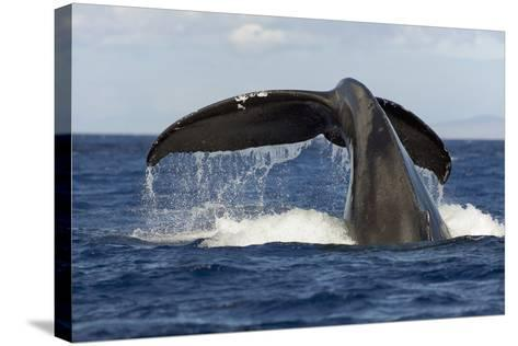 Hawaii, Lanai, Tail of a Humpback Whale (Megaptera Novaeangliae)-Design Pics Inc-Stretched Canvas Print
