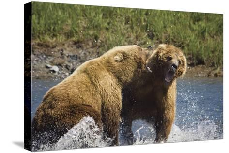 Two Brown Bears Fight over Salmon at Mikfik Creek During Summer in Southwest Alaska-Design Pics Inc-Stretched Canvas Print