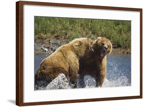 Two Brown Bears Fight over Salmon at Mikfik Creek During Summer in Southwest Alaska-Design Pics Inc-Framed Art Print