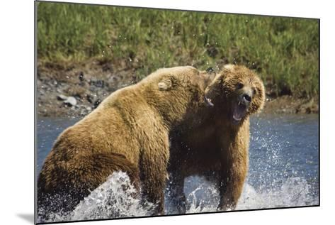 Two Brown Bears Fight over Salmon at Mikfik Creek During Summer in Southwest Alaska-Design Pics Inc-Mounted Photographic Print
