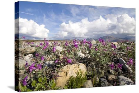 Dwarf Fireweed Bloom Along the Canning River in Anwr. Summer in Arctic Alaska-Design Pics Inc-Stretched Canvas Print