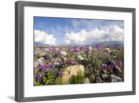 Dwarf Fireweed Bloom Along the Canning River in Anwr. Summer in Arctic Alaska-Design Pics Inc-Framed Art Print