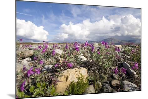 Dwarf Fireweed Bloom Along the Canning River in Anwr. Summer in Arctic Alaska-Design Pics Inc-Mounted Photographic Print