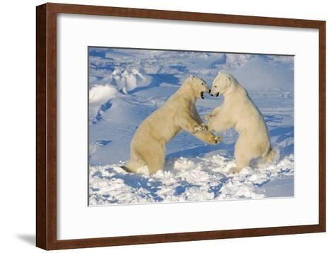 Polar Bears Wrestling and Play Fighting at Churchill, Manitoba, Canada-Design Pics Inc-Framed Art Print
