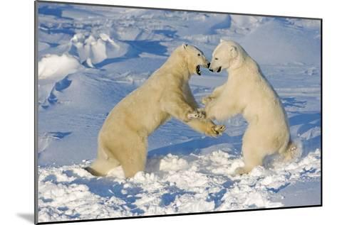Polar Bears Wrestling and Play Fighting at Churchill, Manitoba, Canada-Design Pics Inc-Mounted Photographic Print