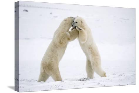Polar Bears on Hind Feet Play Fighting at Churchill, Manitoba, Canada-Design Pics Inc-Stretched Canvas Print
