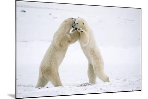 Polar Bears on Hind Feet Play Fighting at Churchill, Manitoba, Canada-Design Pics Inc-Mounted Photographic Print
