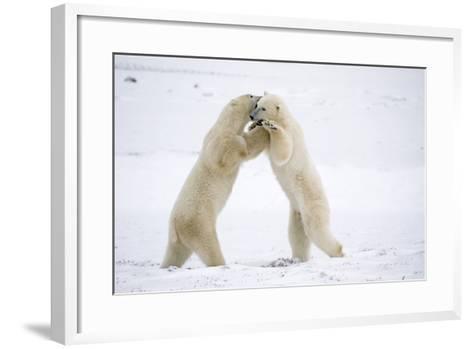 Polar Bears on Hind Feet Play Fighting at Churchill, Manitoba, Canada-Design Pics Inc-Framed Art Print