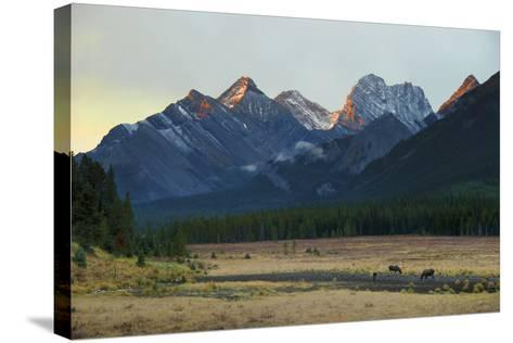 Moose Grazing at Sunset with Mountains in the Background; Alberta Canada-Design Pics Inc-Stretched Canvas Print