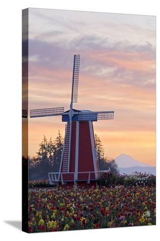 Sunrise over Wooden Shoe Tulip Farm and Mt. Hood; Woodburn, Oregon, USA-Design Pics Inc-Stretched Canvas Print