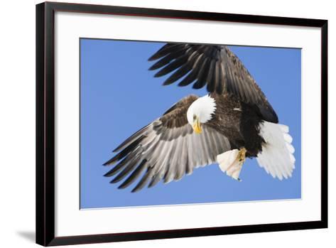 Bald Eagle in Flight with Talons Holding Fish Near Eagle River, Alaska-Design Pics Inc-Framed Art Print
