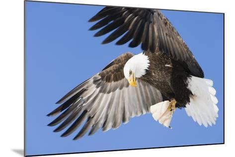 Bald Eagle in Flight with Talons Holding Fish Near Eagle River, Alaska-Design Pics Inc-Mounted Photographic Print