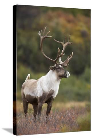 Bull Caribou on Autumn Tundra in Denali National Park, Interior Alaska-Design Pics Inc-Stretched Canvas Print