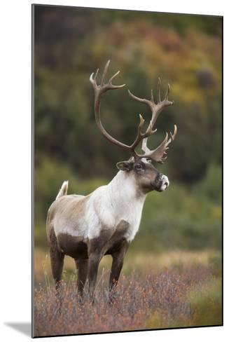 Bull Caribou on Autumn Tundra in Denali National Park, Interior Alaska-Design Pics Inc-Mounted Photographic Print