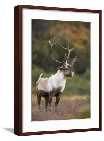 Bull Caribou on Autumn Tundra in Denali National Park, Interior Alaska-Design Pics Inc-Framed Art Print