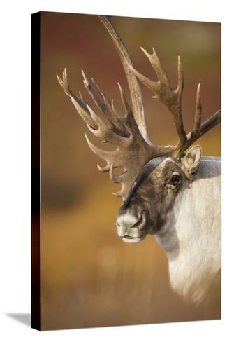 Bull Caribou on Autumn Tundra in Denali National Park, Interior Alaska-Design Pics Inc-Stretched Canvas Print