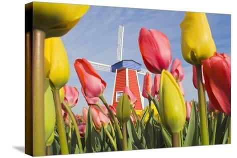 Windmill and Tulips at Wooden Shoe Tulip Farm; Woodburn, Oregon, USA-Design Pics Inc-Stretched Canvas Print
