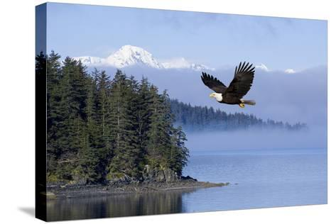 Bald Eagle in Flight over the Inside Passage with Tongass National Forest in the Background, Alaska-Design Pics Inc-Stretched Canvas Print