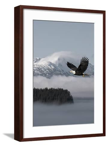 Bald Eagle in Flight over the Inside Passage with Tongass National Forest in the Background, Alaska-Design Pics Inc-Framed Art Print