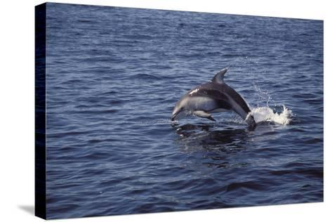 Pacific White Sided Dolphin Johnston Strait Vancouver Island Canada-Design Pics Inc-Stretched Canvas Print